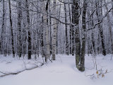 Snowy Woodland Scene