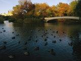 Mallard Ducks Gather at Dusk Near a Bridge on a Central Park Lake