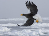 Stellers Sea Eagle in Flight Over Sea Ice (Haliaeetus Pelagicus)