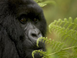 Endangered Mountain Gorilla (Gorilla Gorilla Beringei)  Close-up Face