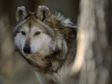 Portrait of a Captive Mexican Gray Wolf  the Rarest Wolf in North America