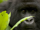 Mountain Gorilla (Gorilla Gorilla Beringei)Behind Green Leaves