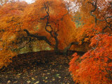 A Japanese Maple in Fall Foliage on the Grounds of the Biltmore