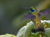 Green Violet-Ear Hummingbird (Colibri Thalassinus)  Wings Extended