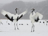 Pair Endangered Red-Crowned Cranes in Mating Dance (Grus Japonensis)
