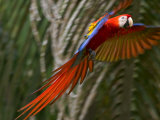 Scarlet Macaw (Ara Macao) in Flight  Preparing to Land in Palms