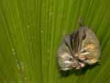Two Tent-Making Bats Huddle Together Under Palm (Artebius Watsonii)