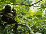 A Gorilla Sitting in a Treetop