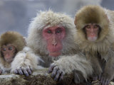 Adult and Two Young Japanese Macaques (Snow Monkeys) on Rock Ledge
