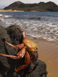 A Sally Lightfoot Crab Perched on a Seaside Rock