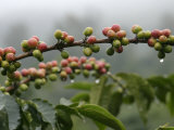 Close View of Coffee Beans with Dew Drops Papier Photo par Roy Toft