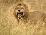 A Snarling Male African Lion in Tall Grass (Panthera Leo)