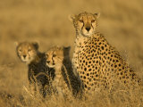 A Cheetah Mother and Her Two Cubs Sitting in Grass (Acinonyx Jubatus)