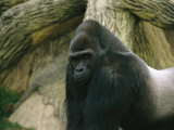 A Captive Mountain Gorilla