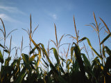 Sunlight on the Tops of Corn Plants in a Field Near Bennet