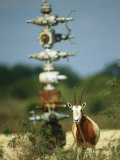 A Scimitar Horned Oryx Next to an Oil and Gas Well