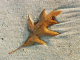 An Oak Leaf Lying in Wet Sand