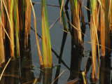 Aquatic Grass Emerges from a Pond at the Chicago Botanic Garden