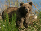 Alaskan Brown Bear Cub (Ursus Arctos) Standing in Grass