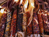 Detail of Drying Coloured Corn at Roadside Market Near Mitchell  Mitchell  USA