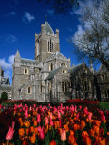 Christ Church Cathedral Surrounded by Tulips in Bloom  Dublin  County Dublin  Ireland  Leinster