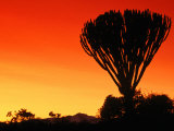 Giant Cactus Tree at Sunset  Lake Naivasha  Kenya