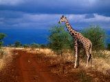 Reticulated Giraffe (Giraffa Camelopardalis Reiiculata)  Meru National Park  Kenya