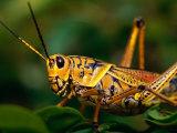 Grasshopper in Florida Everglades  Everglades National Park  Florida  USA