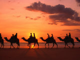 Camel Trek at Sunset along the Beach  Broome  Australia