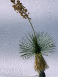 Yucca Plant  State Flower of New Mexico  White Sands National Monument  New Mexico  USA