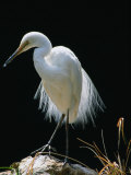 Great Egret in Breeding Plumage  Adelaide  Australia