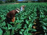 Tobacco Workers  Vinales  Pinar Del Rio  Cuba