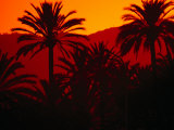 Palm Trees Silhouetted at Sunset  Palma De Mallorca  Spain