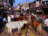 Human and Animal Traffic on Dasaswamedh Ghat Road  Varanasi  Uttar Pradesh  India