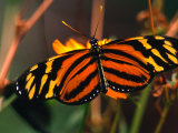 Danalid Butterfly  Costa Rica