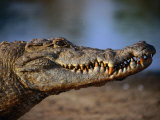 Nile Crocodile (Crocodylus Niloticus) in Profile  Paga  Ghana