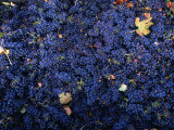 Zinfandel Grape Harvest  Sonoma  California  USA