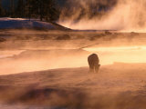 Winter Bison (Bison Bison)  Yellowstone National Park  Wyoming  USA