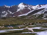 Alpaca Herd Grazing Quebrada Surapampa Valley Near Laguna Ausangatecocha  Cuzco  Peru