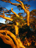 Sunset on Snow Gums Below Mt Feathertop  Alpine National Park  Australia