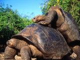 Galapagos Giant Tortoises Mating (Geochelone Elephantopus)  Galapagos  Ecuador