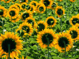 Field of Sunflowers Near Figueras  Girona  Catalonia  Spain