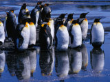 King Penguins ( Aptenodytes Patagonicus ) Reflecting on Salisbury Plains  Bay of Isles  Antarctica
