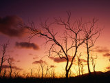 Dead Trees Silhouetted at Sunset  Airlie Beach  Queensland  Australia