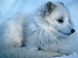 Close-Up of an Arctic Fox (Alopex Lagopus)  Canada