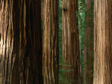 Coast Redwood Trees  Humboldt Redwoods State Park  USA