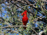 Red Cardinal in Arizona