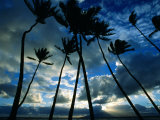Coconut Trees at Sunset  Lahaina  USA