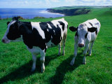 Cattle in Coastal Paddock Near Whitby  North York Moors National Park  England