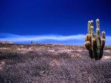 Cardon Cactus Puna  San Juan  Argentina